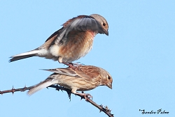 "mating linnets"" height="