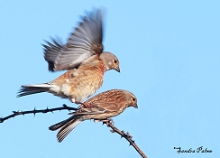 "mating linnets photo"" height="