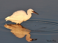 little egret Widewater Lagoon