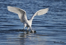 Little Egret hunting picture