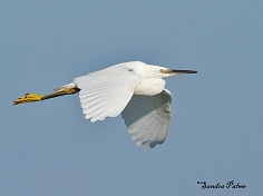 little egret in flight photo