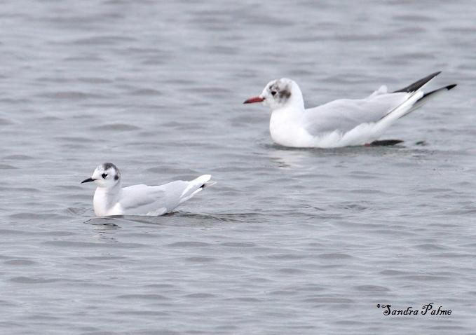 little gull black-headed gull
