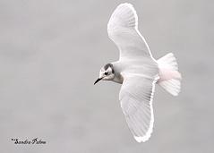 pink little gull