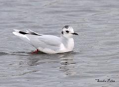 little gull on water