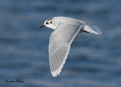 little gull in flight Hydrocoloeus minutus