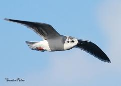 little gull winter plumage