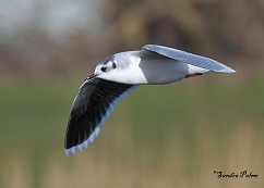 adult little gull in winter plumage