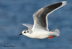 adult little gull photo
