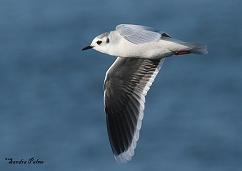 adult little gull in flight