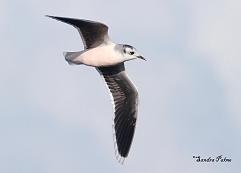 adult little gull bird