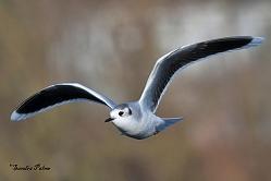 little gull winter