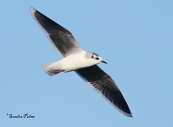 little gull flying