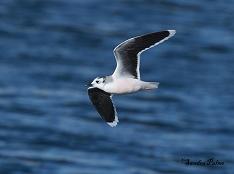 little gull Worthing
