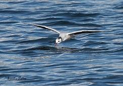 little gull hunting