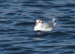 little gull picture