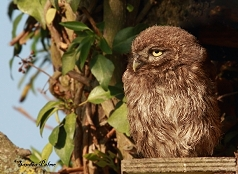 little owl owlet photo