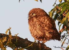 little owlet photo