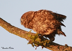 little owlet Athene noctua