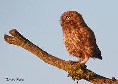 little owl owlet