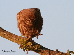 Little Owl dancing