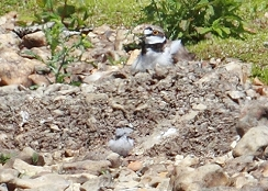 little ringed plover and chick