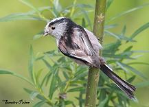 long-tailed tit bird
