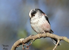 long-tailed tit bird photo