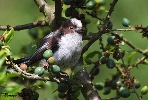 Juvenile Long-Tailed Tit