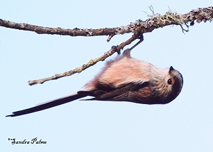Long-Tailed Tit – upside down
