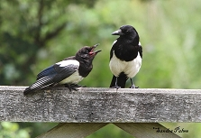 Magpies photo