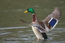 Mallard drake duck photo