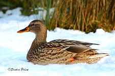 Mallard in the snow