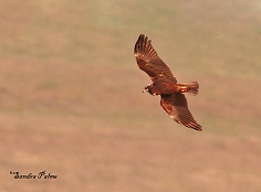 young marsh harrier