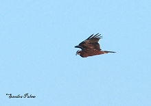 immature marsh harrier