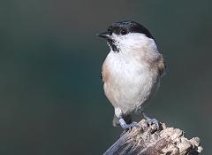 marsh tit bird photo