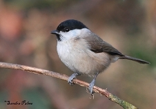 Marsh tit bird