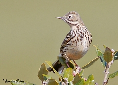 "meadow pipit bird"" height="