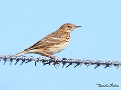 Meadow pipit photo