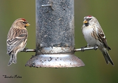 common redpoll West Sussex