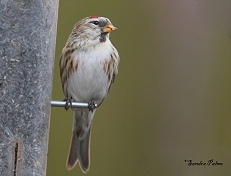 mealy redpoll West Sussex