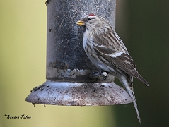 young male common redpoll