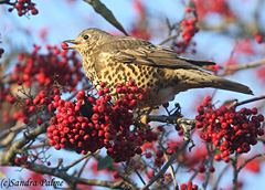 mistle thrush bird