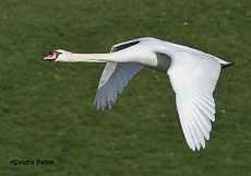 adult mute swan in flight