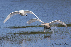 adult and juvenile mute swans in flight