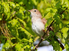 nightingale in oak tree