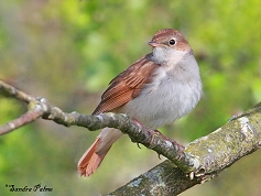 Nightingale photo