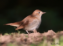 male common nightingale on ground