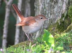 male common nightingale on ground bird photo