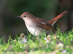 male common nightingale on ground bird
