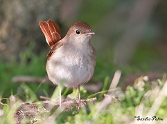 male nightingale on ground